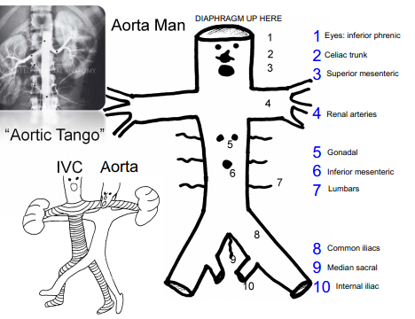 Anatomy Of The Retroperitoneum